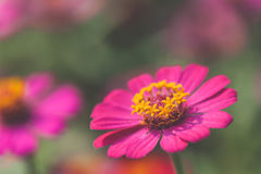 Macro view of cosmos flower at blurred background Stock Images