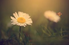 Macro view of daisy flower in sunset Royalty Free Stock Photography