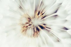 Macro view of dandelion flower head Royalty Free Stock Photo
