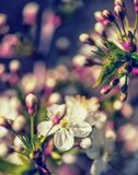 Defocus floral background spring cherry flowers Stock Images