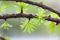 Macro view fir tree branch. evergreen leaves needles, gray background. shallow depth of field. Stock Image