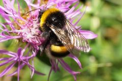 Macro view of a fluffy Caucasian yellow-black bumblebee Bombus l. Macro view of fluffy Caucasian yellow-black bumblebee Bombus lucorum sitting on the side and stock image