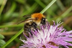 Macro view of fluffy orange Caucasian Caucasian bumblebee Bombus. Macro view from front of fluffy orange Caucasian bumblebee Bombus pascuoruma with head royalty free stock images