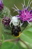 Macro view from the front of a floral caucasian spider Misumena. Caught a bumblebee Bombus lucorum on a purple inflorescence of a burdock in summer royalty free stock photography