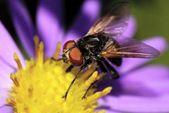 Macro view of the front and side of the Caucasian black flies ar Royalty Free Stock Image
