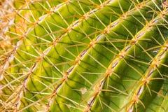 Macro View of Golden Barrel Cactus. Plant royalty free stock image
