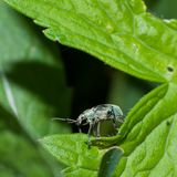 Snout beetle on the leaf of a plant royalty free stock images