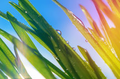 Macro view of green grass against blue sky Royalty Free Stock Photography