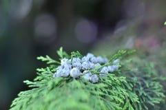 Macro view of green juniper branch with blurred background, Juniper blue Berries. stock photo