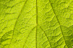 Macro view of green leaf Royalty Free Stock Photo