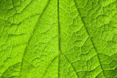 Macro view of green leaf in daylight Stock Photography