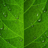 Macro view of green leaf surface with water drops. Morning dew, fresh spring foliage. Vector illustration. Leaves vein. Environment protection and ecology Royalty Free Stock Image