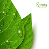 Macro view green leaves with water drops. On white background. Morning dew, fresh spring foliage. Vector illustration. Spring is coming concept Stock Images