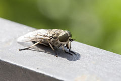 Macro view of a horsefly. Females females bite animals to obtain enough protein from blood to produce eggs Stock Photography