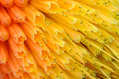 Macro View of Kniphofia Bengal Fire. Showing natural pattern with vibrant colors Stock Images