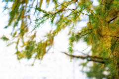 Macro view of larch tree branch and needles Royalty Free Stock Photos
