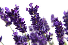 Macro view of lavender Stock Image