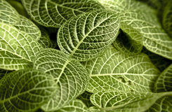 Macro view of leaves tropical plant Royalty Free Stock Photo