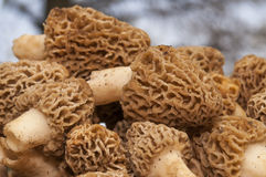Macro view of morel mushrooms Royalty Free Stock Image