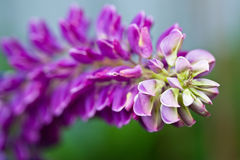 Macro View Of A Pink Lupine Stock Image