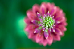 Macro View Of A Pink Lupine Royalty Free Stock Image