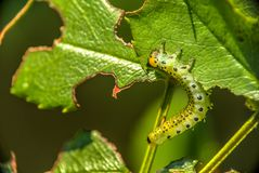 Macro view of one caterpillar eating green leaf in the garden. B royalty free stock image