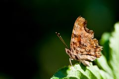 Macro view orange butterfly on green leaf. copy space, shallow depth field royalty free stock photo