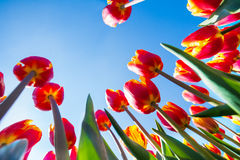 Macro view of orange tulips on sky background Royalty Free Stock Images