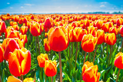 Macro view of orange tulips in summer time Royalty Free Stock Image