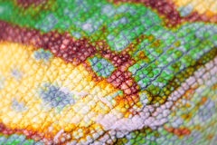 Macro view  of Panther Chameleon. Macro view of colorful scales of Panther Chameleon isolated on white Stock Photo
