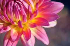 A macro view of petals on a Goodwill `90 variety Dahlia. royalty free stock photography