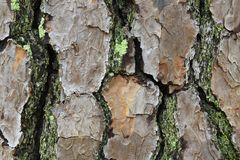 Macro view of pine bark with moss and lichen royalty free stock photo
