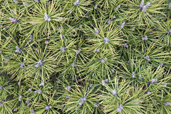 Macro view of pine tree leaves Stock Photo