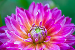 Macro view of pink flower dahlia Royalty Free Stock Image