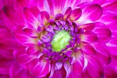 Macro view of pink flower dahlia Stock Photo