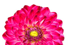 Macro view of pink flower dahlia  isolated Stock Photography