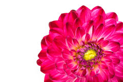 Macro view of pink flower dahlia  isolated Stock Photos