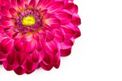Macro view of pink flower dahlia  isolated Royalty Free Stock Image