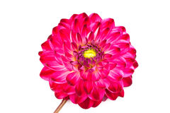 Macro view of pink flower dahlia  isolated Stock Images