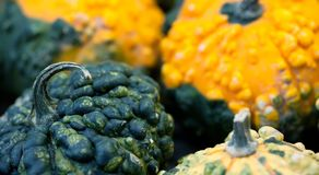 Macro view pumpkins texture. Halloween thanksgiving day background. Yellow green color vegetables harvest. Selective Stock Photography