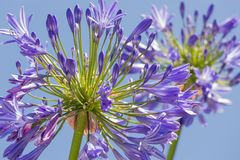 Macro view purple agapanthus against a blue sky Royalty Free Stock Photo