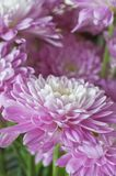 Closeup of Aster flowers in magenta colors Royalty Free Stock Image