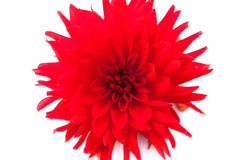Macro view of red flower dahlia  isolated Stock Photo