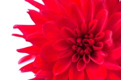 Macro view of red flower dahlia  isolated Royalty Free Stock Photo