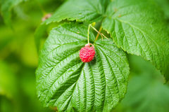 A macro view of a red raspberry on a green leaf against a blurred green background. Stock Photo