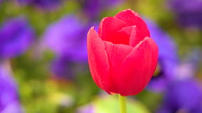 Macro view of red tulip. In motion