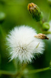 Macro view of seeded flower. Macro view of seeded white flower with green background Royalty Free Stock Photo