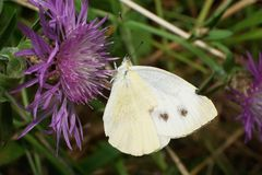Macro view of the sitting on the flower cornflower butterfly whi. Macro view of white-violet cornflower butterfly on flower Pieriae Artogeia napi of summer stock photos
