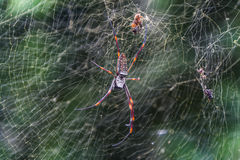 Macro view of Spider Royalty Free Stock Photo