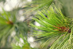 Macro view spruce needles. Evergreen tree branch closeup, soft focus, shallow depth of field Royalty Free Stock Images